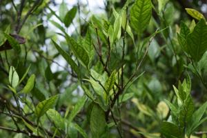 citrus-greening-uf-ifas-lorca