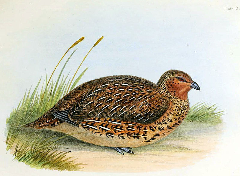 New Zealand quail. Source– Wikimedia Commons– orig. artist Charles Joseph Hullmandel