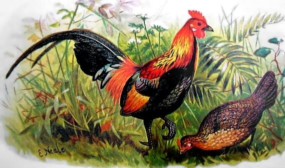 Red Jungle Fowl. Source– Wikimedia Commons– orig. artist Edward Neale