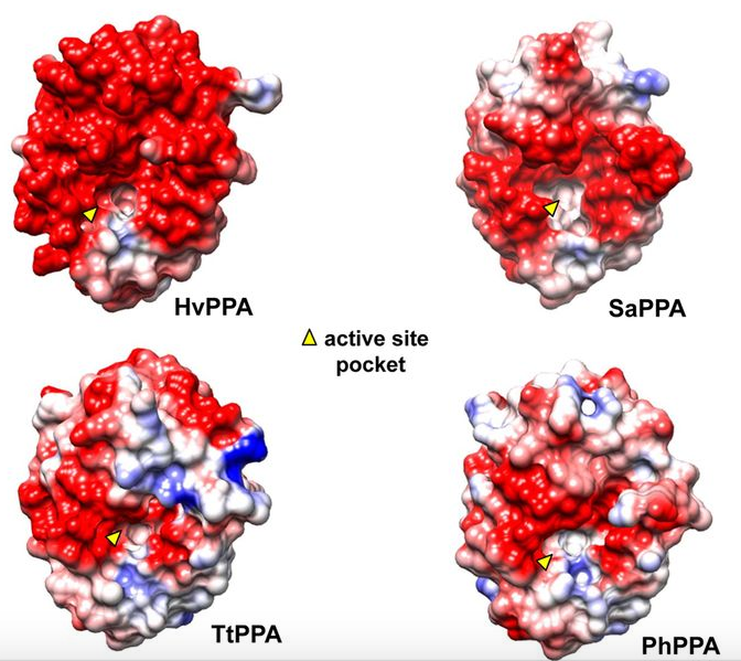A figure from the publication compares the strength of the negative surface charge of the subject enzyme to comparable pyrophosphatases. (Source– Maupin-Furlow Lab